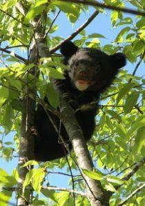 220px-12-cub_on_tree