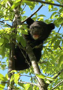 220px-12-cub_on_tree