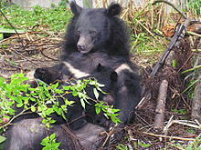 220px-Formosan_black_bear_suckling_cubs